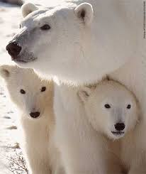 bears animals