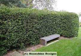 hedge bush