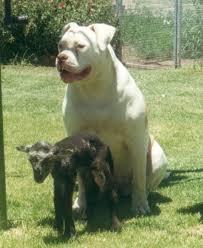 mastiff bull dog