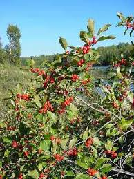 holly winterberry