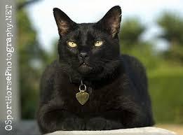 black cats photos