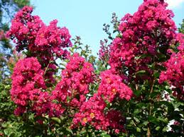 crepe myrtle colors