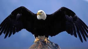 pics of bald eagles