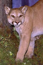 canadian wild cats