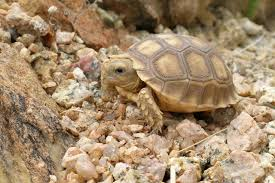 desert turtles