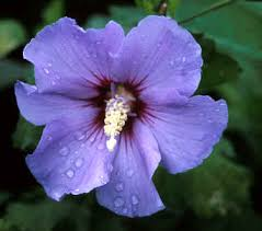 blue satin rose of sharon
