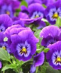 flower pansies
