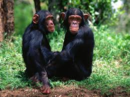 chimpanzee wallpapers