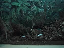 kiwi bird habitat