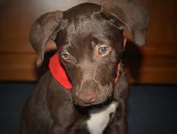 chocolate lab beagle mix