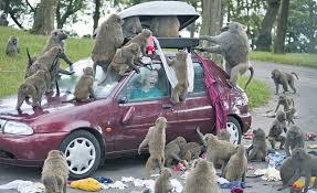 baboon monkeys