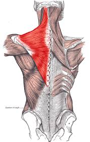 shoulder blade muscle