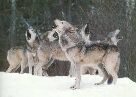 pictures of wolves howling