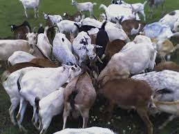 goats feeding