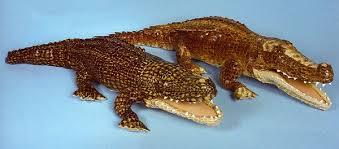 crocodile stuffed