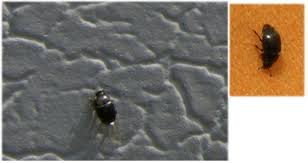 small black flying bugs