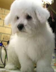 bichon frise pups
