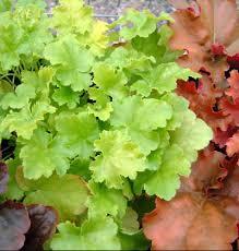 heuchera plants