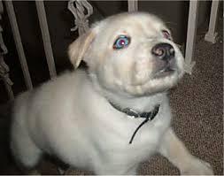 husky lab puppies