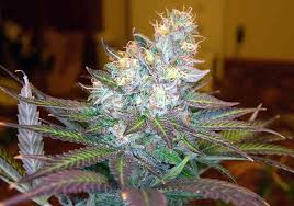 purple weed plant