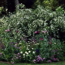 mock orange plants