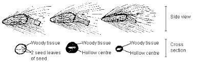 protea seed