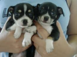 chihuahua mix puppies