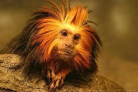 golden tamarin lion monkey