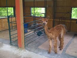 alpaca barn
