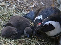 breeding penguins