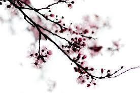 cherry blossom graphics