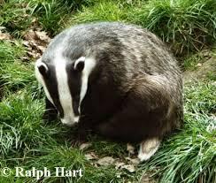 Badger curling up