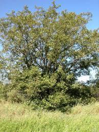 picture of pecan tree