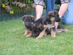 duitse herder puppies
