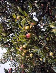 kinds of apple trees