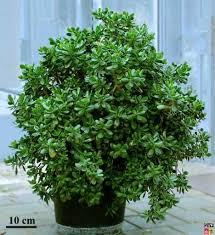large jade plant
