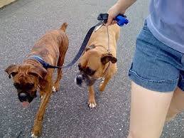fawn boxer pups