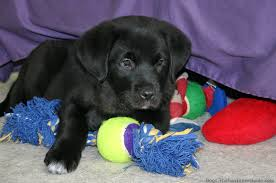 black labs puppy