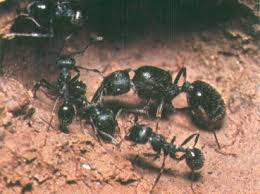 ant babies