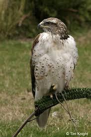 hawk pictures