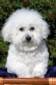 bichon dogs pictures