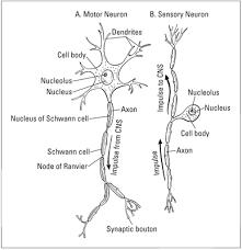 motor neuron structure