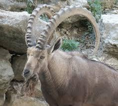 ibex horns