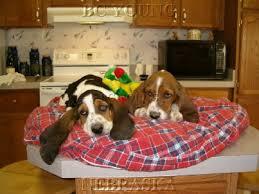 bassethound puppies for sale