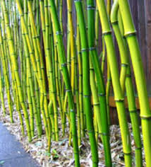 bamboo in landscaping