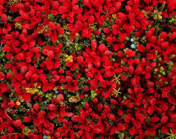 red ground cover