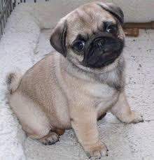 puggle dog for sale