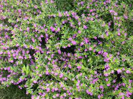 false heather plant