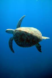 atlantic green sea turtles