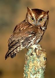 eastern screech owl habitat